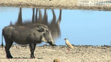【動画素材】アフリカのイボイノシシ
