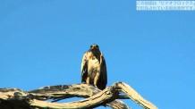 【動画素材】アフリカの鷹の映像