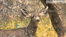 【動画素材】アメリカの鹿