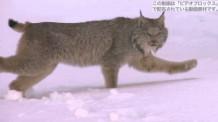 【動画素材】アラスカのオオヤマネコ