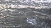 【動画素材】イルカの映像