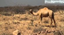【動画素材】エチオピアのラクダの映像