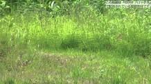 【動画素材】ジャンプするオオヤマネコのスロー映像
