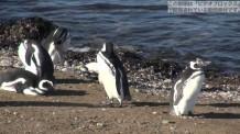 【動画素材】ペンギンの群れ