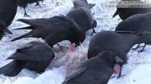 【動画素材】雪上で動物を食べるカラス