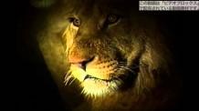【動画素材】夜間のライオンの夫婦