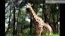 【動画素材】ゆっくり歩くキリン