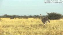 【動画素材】アフリカの草原を歩くダチョウ