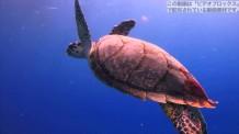 【動画素材】青い海を泳ぐウミガメ