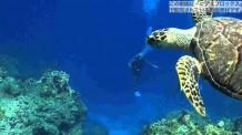【動画素材】海中を優雅に泳ぐウミガメ