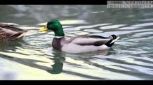 【動画素材】湖を泳ぐカモの夫婦