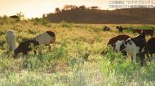 【動画素材】草原で草を食べる子牛たち