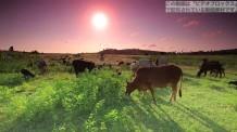 【動画素材】草原で草を食べる牛のハイビジョン映像