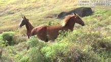【動画素材】草原を走る馬の群れ