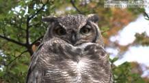 【動画素材】フクロウのハイビジョン映像